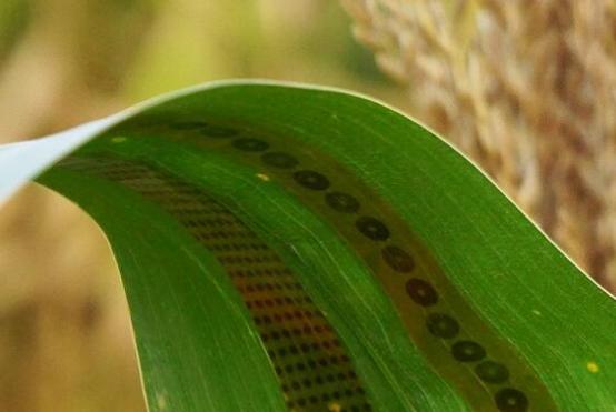 """他们开发出一种小型的石墨烯""""植物纹身传感器"""",可粘贴在玉米植株的叶子上,用于收集与植物生长有关的信息。"""