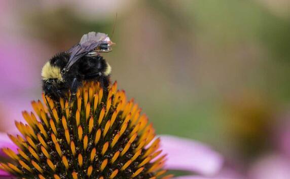 """华盛顿大学的研究人员研发出一款传感器""""背包"""",小到可以""""骑""""在大黄蜂上,""""背包""""可以跟着蜜蜂不断活动并持续检测农场中的温度、湿度以及作物的健康状况等信息。"""